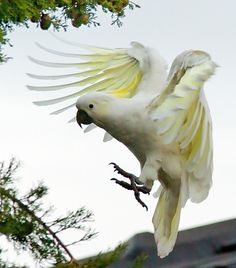 Cockatoo! ...........click here to find out more http://googydog.com