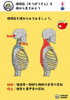 僧帽筋 ヨガ解剖学