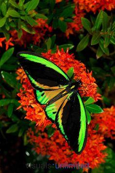 Common Birdwing Butterfly. Captivity