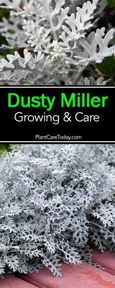 Dusty miller known for its striking silvery-gray foliage, hardy, low-maintenance perennial,serves as an effective contrast to flowering plants.