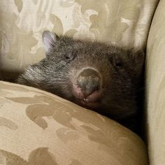 """ABC News shared a photo on Instagram: """"Most people, when they check under the cushions of their lounge, discover dust, lint, and maybe…"""" • See 9,496 photos and videos on their profile. Meanwhile In Australia, Abc News, Bear, Photo And Video, Cushions, Lounge, Profile, Animals, Instagram"""