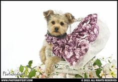 A true southern belle, a Yorkie dog sits in a tiny chair surrounded by spring dogwood blossoms. Love this photo? Re-pin it!