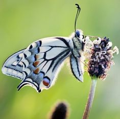~White Butterfly with Blue~