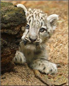 ˚Snow Leopard Cub