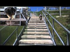 Ditto_Stairs.mov - YouTube  Previous patient seen at CullenWebb before and after cataract removal.    Blindness from cataracts severely impacts a pet's quality of life, as you can see how well Ditto was doing before and after surgery.  #cataracts #dog #animaleyedoctors