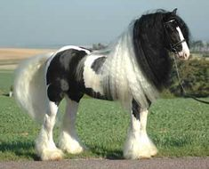 Spotty | Gypsy Vanner Horse for Sale | Mare | Red & White Skewbald