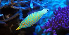 https://flic.kr/p/bjwvcY | Oxymonocanthus longirostrus Orange Spotted Filefish male