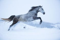 Looking for silver horse names? Here is a collection of most popular silver or gray horse names. Most Beautiful Horses, All The Pretty Horses, Animals Beautiful, Animals Of The World, Animals And Pets, Cute Animals, Silver Horse, Gray Horse, Horse Names