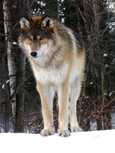 Ambassador Wolf♥              at the International Wolf Center in Ely, MN.                    by SakarriAn