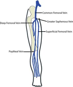 Image result for femoral vein