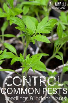 Follow these guidelines to get rid of common plant diseases and garden pests like spider mites, control whiteflies on plants, cure chlorosis, and deal with damping off. Seedlings are especially vulnerable.