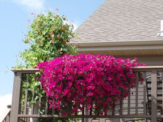 Patio Railing Planter - Beautiful Hot Pink Petunias trailing over this railing makes an impressive display on this deck. http://www.floralexpressionsjanesville.com/