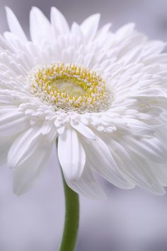 White Daisy | by Dave Spindle