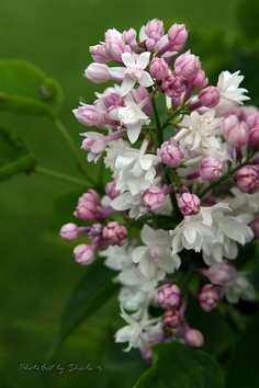 This was one of my favorite Lilacs.