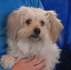 Vickie is an adorable young girl with a very gentle spirit and she is now ready for adoption at Nevada SPCA (www.nevadaspca.org).  She offers her kindness and unconditional love in exchange for a responsible, forever home.  Vickie is a blend of Toy breeds (Havanese, Maltese, Shih-Tzu), 1 year of age and spayed.  She gets along beautifully with other sweet dogs and needs regular professional grooming.