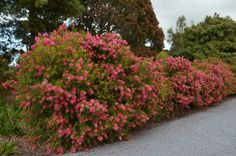 Australian Native Hedges | Gardening With Angus