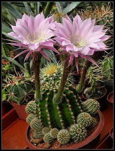 Echinopsis eyriesii: