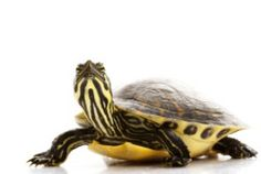 Yellow Bellied Slider Turtle for Sale Pet Turtle, Turtle Love, Buy A Snake, Turtle Supplies, Yellow Bellied Slider, Insects For Sale, Turtles For Sale, Slider Turtle