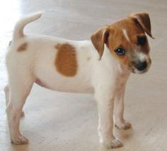 Parson Russell Terrier How stinking cute!!! They only look so sweet and innocent lol!!!
