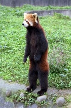 """""""If a Red Panda feels threatened or senses danger, it will often try to scamper up into an inaccessible rock column or a tree. If they can no longer flee, they stand up on their hind legs, which makes them appear somewhat more daunting and... allows them... [to use] the razor-sharp claws on their front paws, which can inflict substantial wounds. Red Pandas are friendly, but are not helpless, and will resist if they feel threatened."""""""