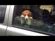 Geweldig: schattige beagle-puppy wil echt, écht niet zijn autoruit loslaten   newsmonkey
