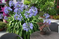Agapanthus: care and overwintering, Allium, Container Plants, Container Gardening, Flower Structure, Cactus Types, Overwintering, Flower Ball, Winter Flowers, Gardens