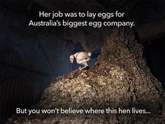 We know that factory farms are no picnic for animals. But what investigators discovered in this 'Egg Corp Assured' cage egg facility left us speechless. These images must be exposed: www.AnimalsAus.org/bVM