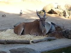 Oakland Zoo - Eland