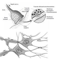 Tipuri de sinapse Human Anatomy, Biology, Health, Study, Medicine, Culture, Anatomy, Studio, Health Care