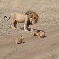 Cute Little Animals, Cute Funny Animals, Cute Cats, Lion Family, Video Chat, Cute Lion, Lion Cub, Cute Animal Videos, Funny Cat Videos