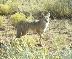 Photo of a coyote that came back a second time.