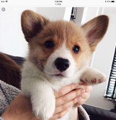 Awwww, he's so cute!!! He looks like a little teddy bear corgi!!! #PembrokeWelshCorgipuppy