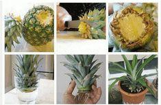 Comment faire pousser un ananas chez soi ?