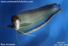 Blue Arowana Dragon Fish, Salt Water Fish, Freshwater Aquarium Fish, Beautiful Fish, Sea World, Aquariums, Ponds, Goldfish, Betta