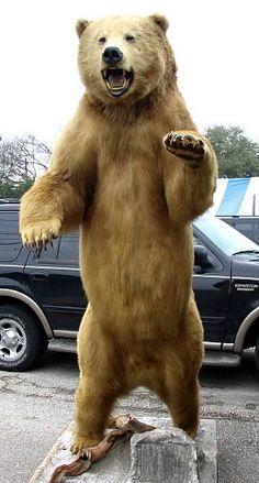 Full Body Bear Mount Ideas Black Bear Full Body Mount 4