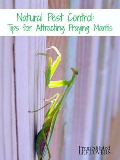 Tips for attracting praying mantis to your garden