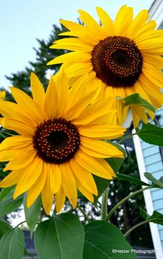 Two of a kind Sunflower Garden, Sunflower Bouquets, Sunflower Art, Sunflower Fields, Growing Sunflowers, Sunflowers And Daisies, Yellow Flowers, Amazing Flowers, Beautiful Flowers