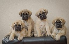 How cute are these Mastiff puppies