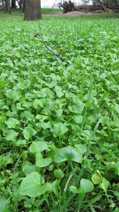 Miner's lettuce, one of my favorite wild edible salad greens...