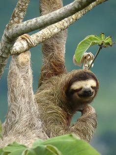 I have found my spirit animal! Cute Sloth Pictures, Animal Pictures, My Spirit Animal, My Animal, Beautiful Creatures, Animals Beautiful, Planeta Animal, Baby Animals, Cute Animals