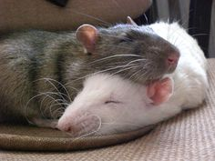 rats do best with a rattie buddy to cuddle with, groom with and play with while you're away or asleep--two rats are really no more work than one; just have a suitably-sized cage