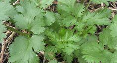 Growing coriander | Sustainable Gardening Australia