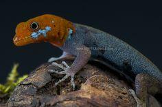 Red-headed dwarf gecko / Gonatodes albogularis fuscus | Flickr - Photo Sharing!
