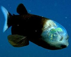"Completely transparent head of the Barreleye fish. This unusual fish might be the most bizarre creature ever found lurking in the deep ocean. Sometimes called a ""spook fish,"" no doubt because of its strange appearance."