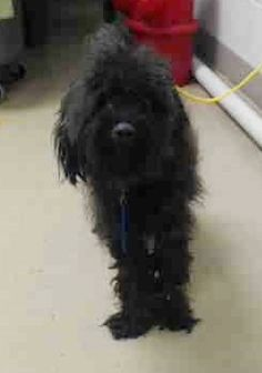 ~ Animal ID #A436013 ‒ I am a Male, Black Miniature Poodle mix. The shelter does not know how old I am. I have been at the shelter since June 18, 2015. Harris County Public Health and Environmental Services Telephone ‒ (281) 999-3191 612 Canino Road Houston, TX Fax: (281) 847-1911 https://www.facebook.com/OPCA.Shelter.Network.Alliance/photos/pb.481296865284684.-2207520000.1435586503./840441229370244/?type=3&theater