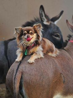 Poppi Dorg on Allegra with Snugglepot in the background. Courtesy: Amelia Rise Donkeys. Yea, Victoria (Australia).