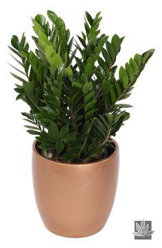 Zamioculcas Zamiifolia or 'ZZ' plant