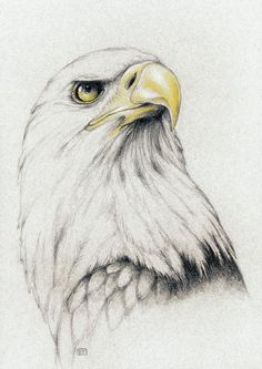 Eagle Drawing - Bald Eagle by Evey Studios