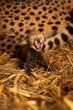 Two cheetah cubs have been born through in vitro fertilisation and embryo transfer into a surrogate mother at the Columbus Zoo and Aquarium. (Photo Graham S. Jones for the zoo) Cheetah Cubs, Tiger Cubs, Tiger Tiger, Bengal Tiger, Baby Cheetahs, Columbus Zoo, Baby Tigers, Dangerous Animals, Animal Rescue Shelters