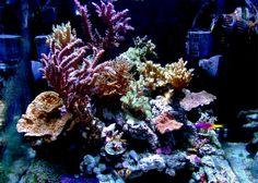 bluebastion - 2008 Featured Nano Reefs - Featured Aquariums - Monthly Featured Nano Reef Aquarium Profiles - Nano-Reef.com Forums #aquarium